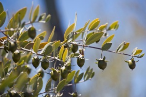 Jojoba Plant with Nuts
