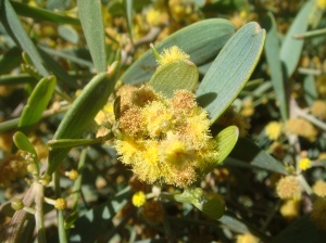 Jojoba Plant with Flowers